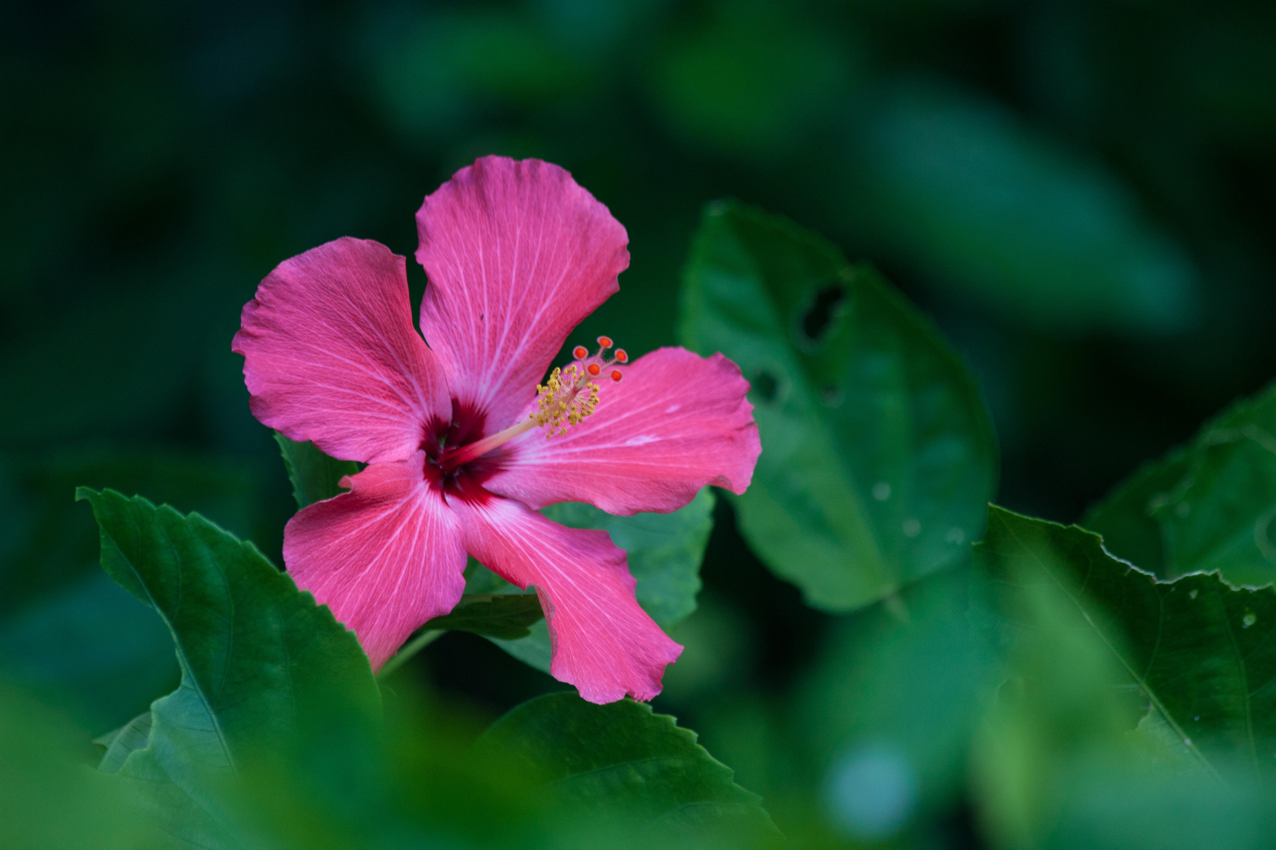 Free Hibiscus Stock Photo